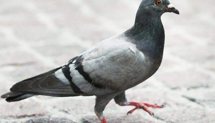 Australie: un pigeon américain enfreint les règles de la quarantaine